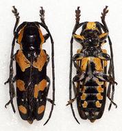 Image of <i>Tragocephala <i>castnia</i></i> castnia