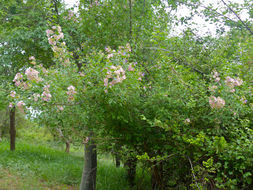 Image of <i>Karomia speciosa</i> (Hutch. & Corbishley) R. Fern.