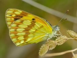 Image of <i>Colotis vesta argillaceus</i>