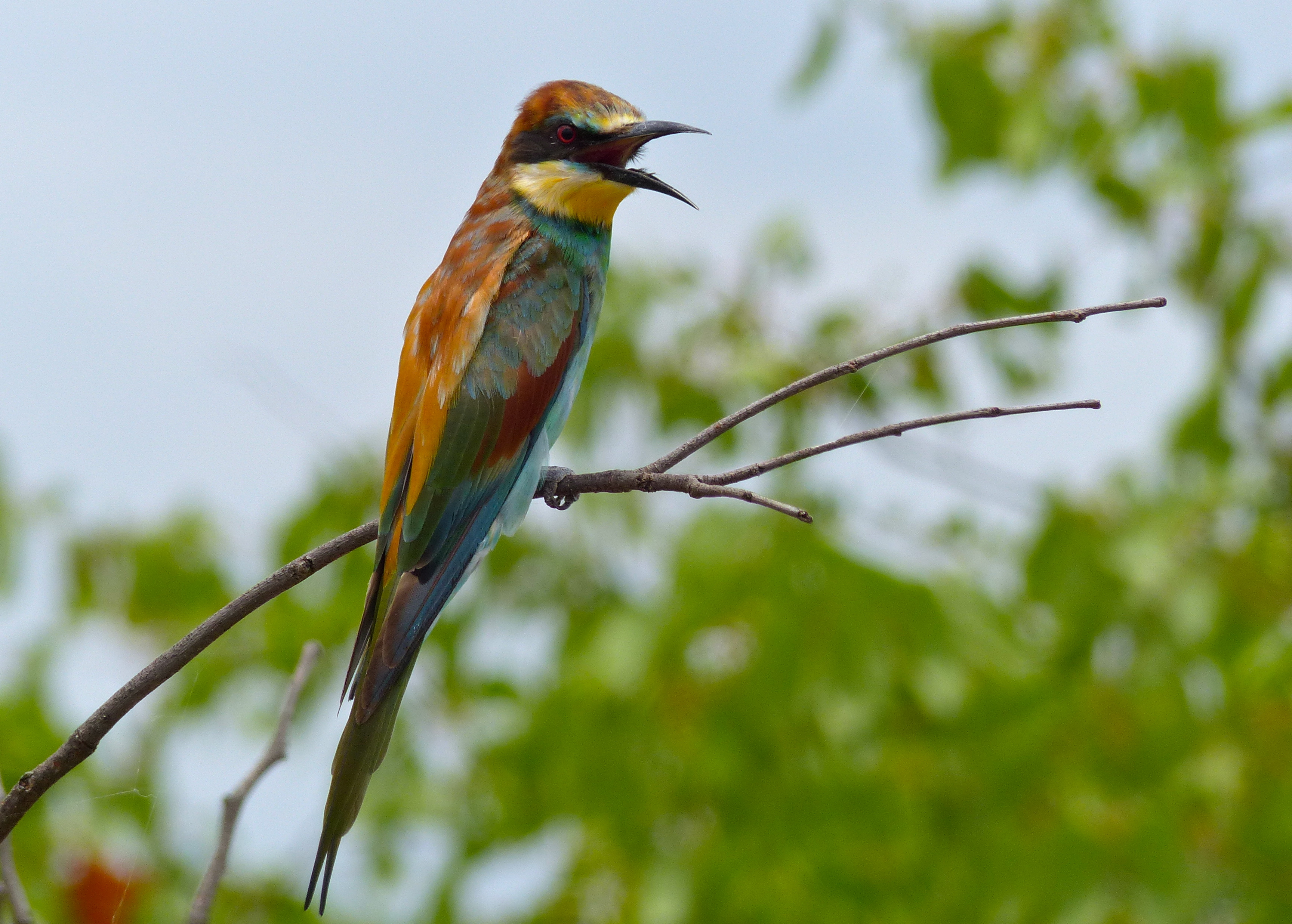 Image of European bee-eater