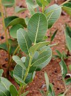 Sivun <i>Kielmeyera variabilis</i> Mart. kuva