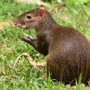 Image of Central American Agouti