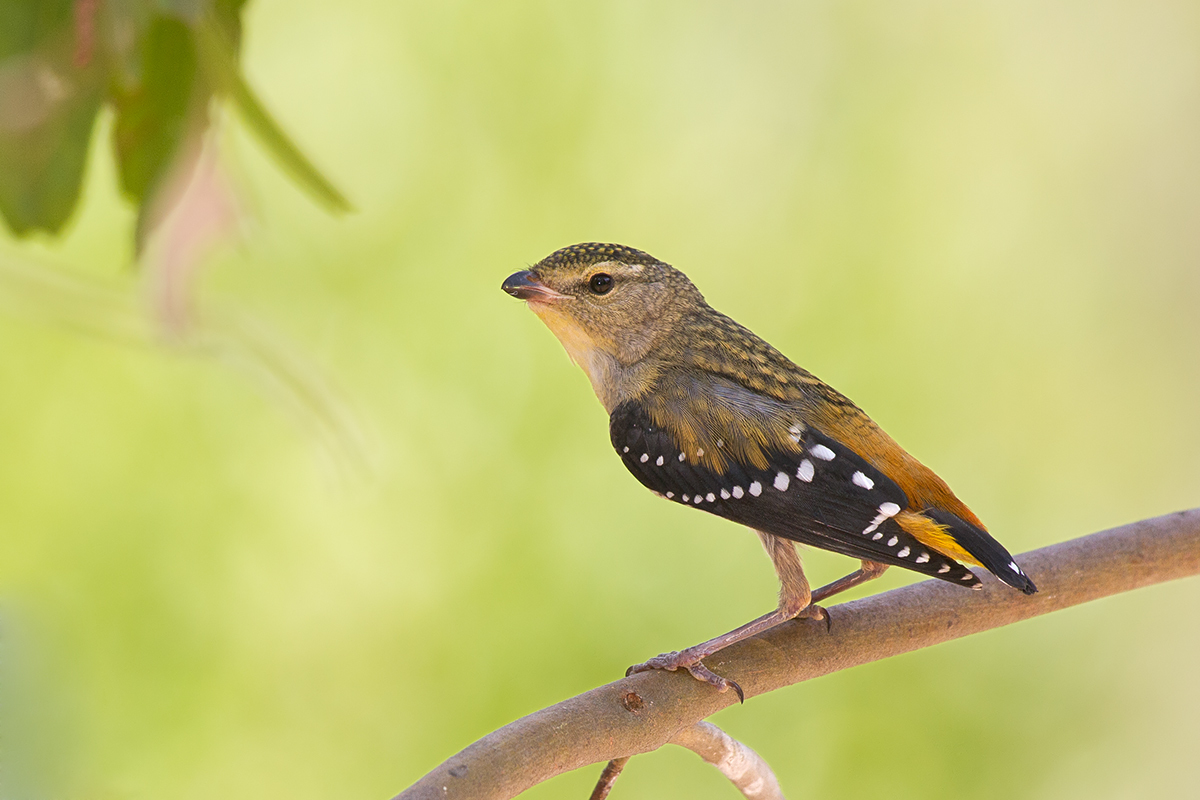 Image of Spotted Pardalote
