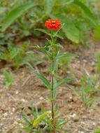 Image of Peruvian zinnia