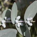 Image of silver-dollar eucalyptus