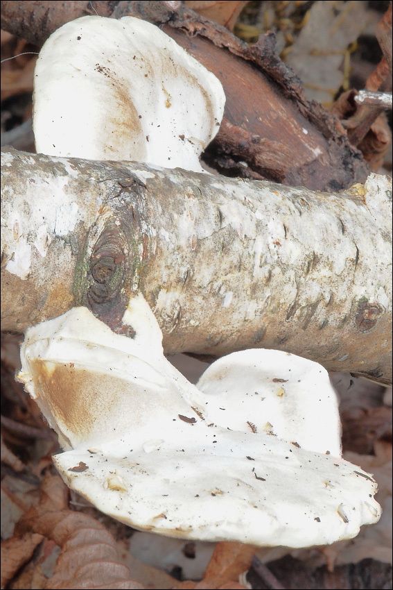 Image of White Cheese Polypore