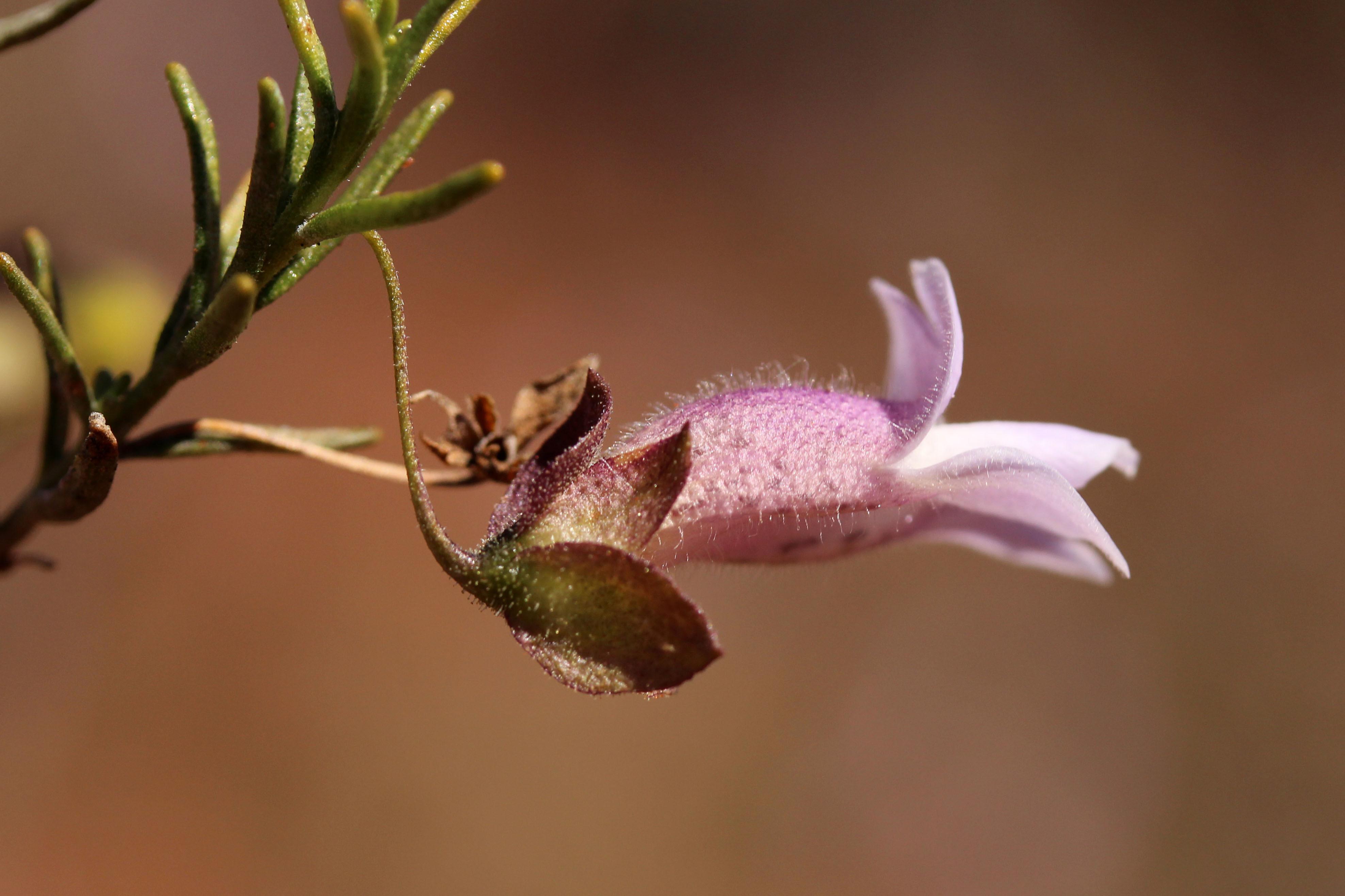 Image of <i>Eremophila metallicorum</i> S. Moore