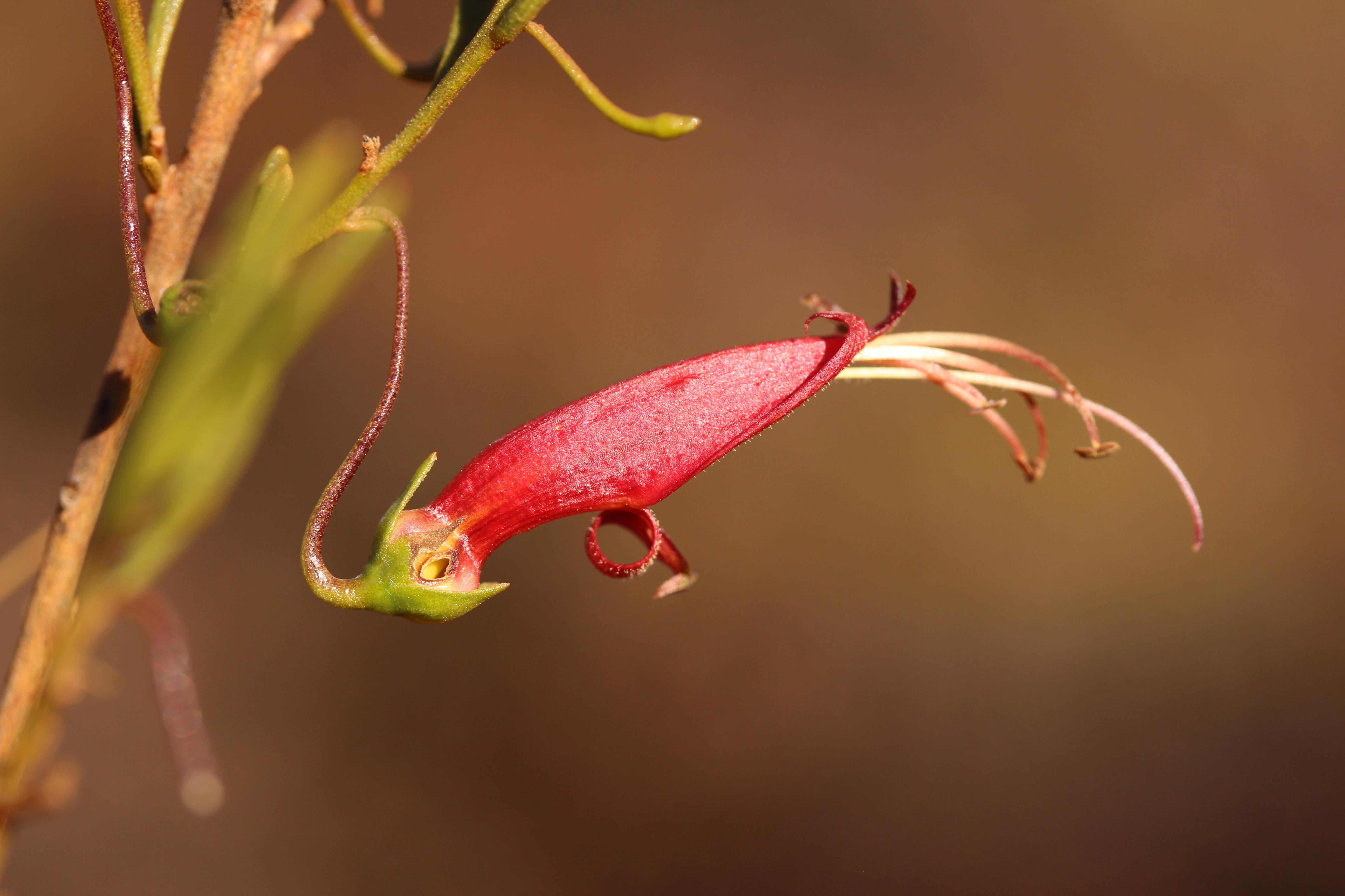 Image of <i>Eremophila <i>decipiens</i></i> decipiens