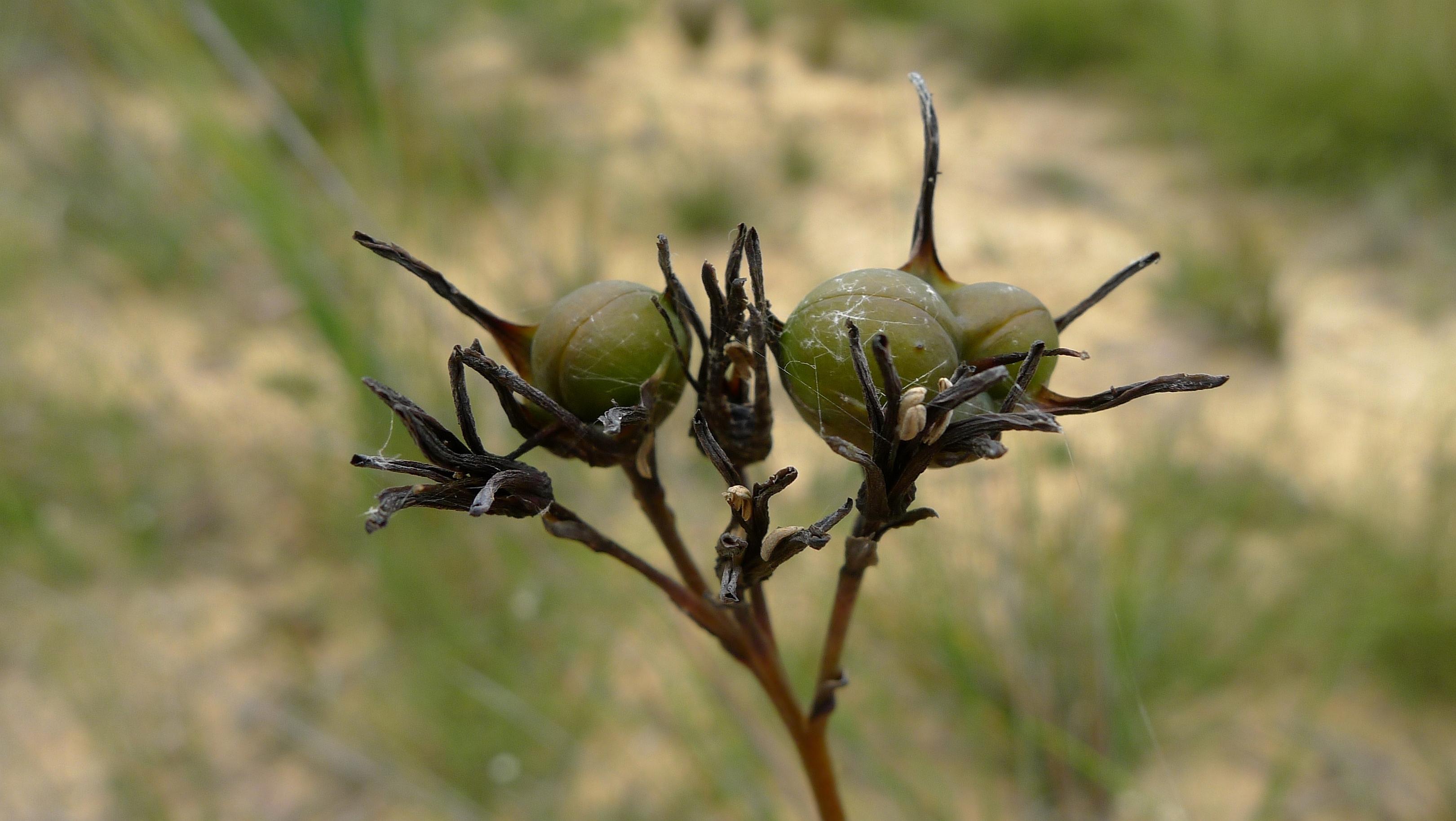 Image of <i>Haemodorum corymbosum</i> Vahl