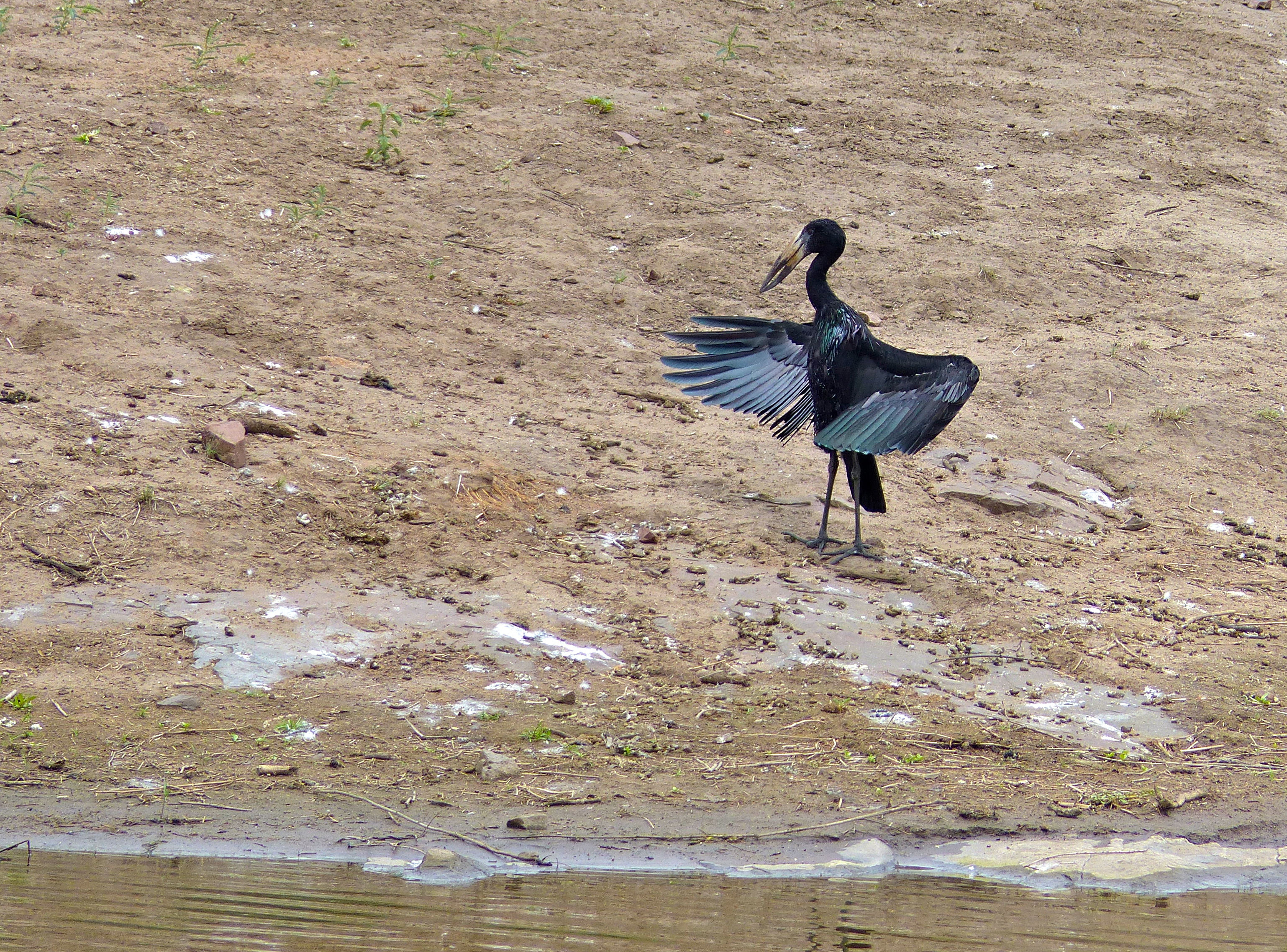Image of African Openbill