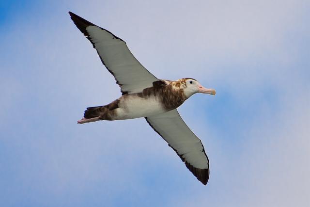 Image of Tristan Albatross