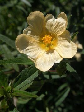 Image of <i>Sida rhombifolia</i> L.