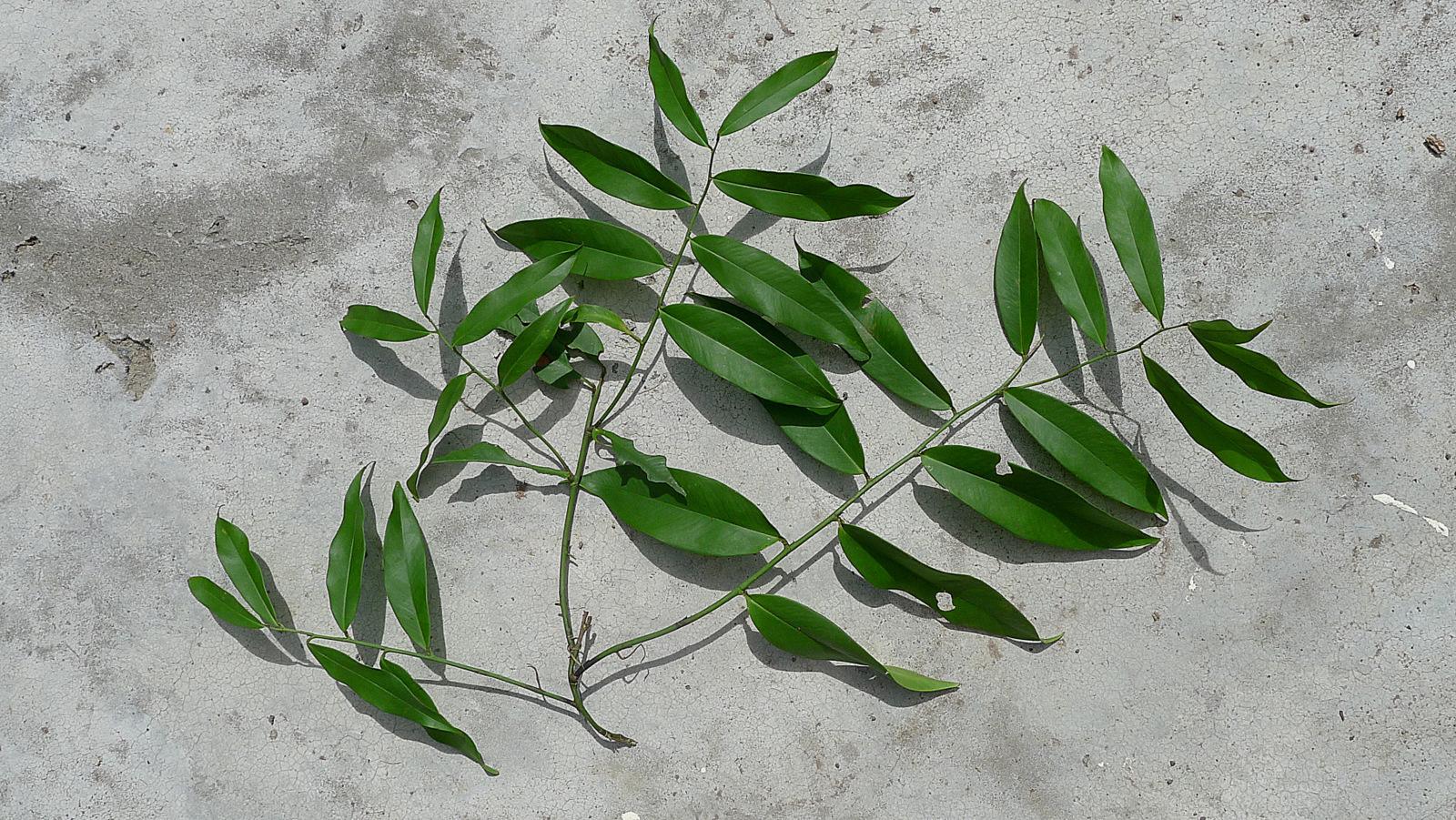 Image of <i>Heteropsis oblongifolia</i> Kunth