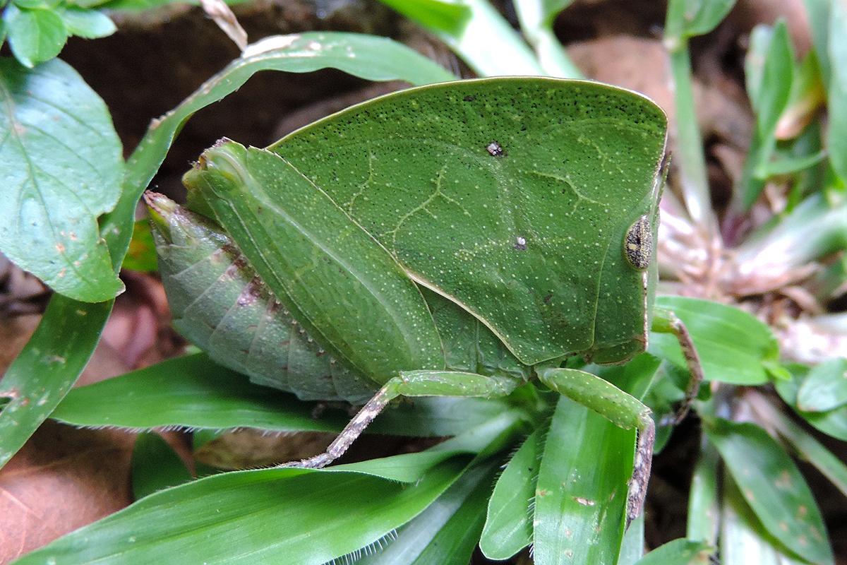 Image of <i>Phyllochoreia equa</i> Burr 1899