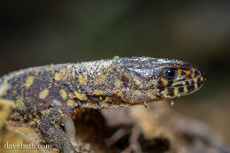Image of Yellow-spotted night lizard