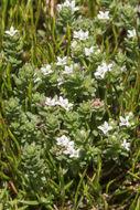 Image of <i>Asperula pusilla</i> Hook. fil.