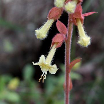 Image of <i>Amasonia hirta</i> Benth.