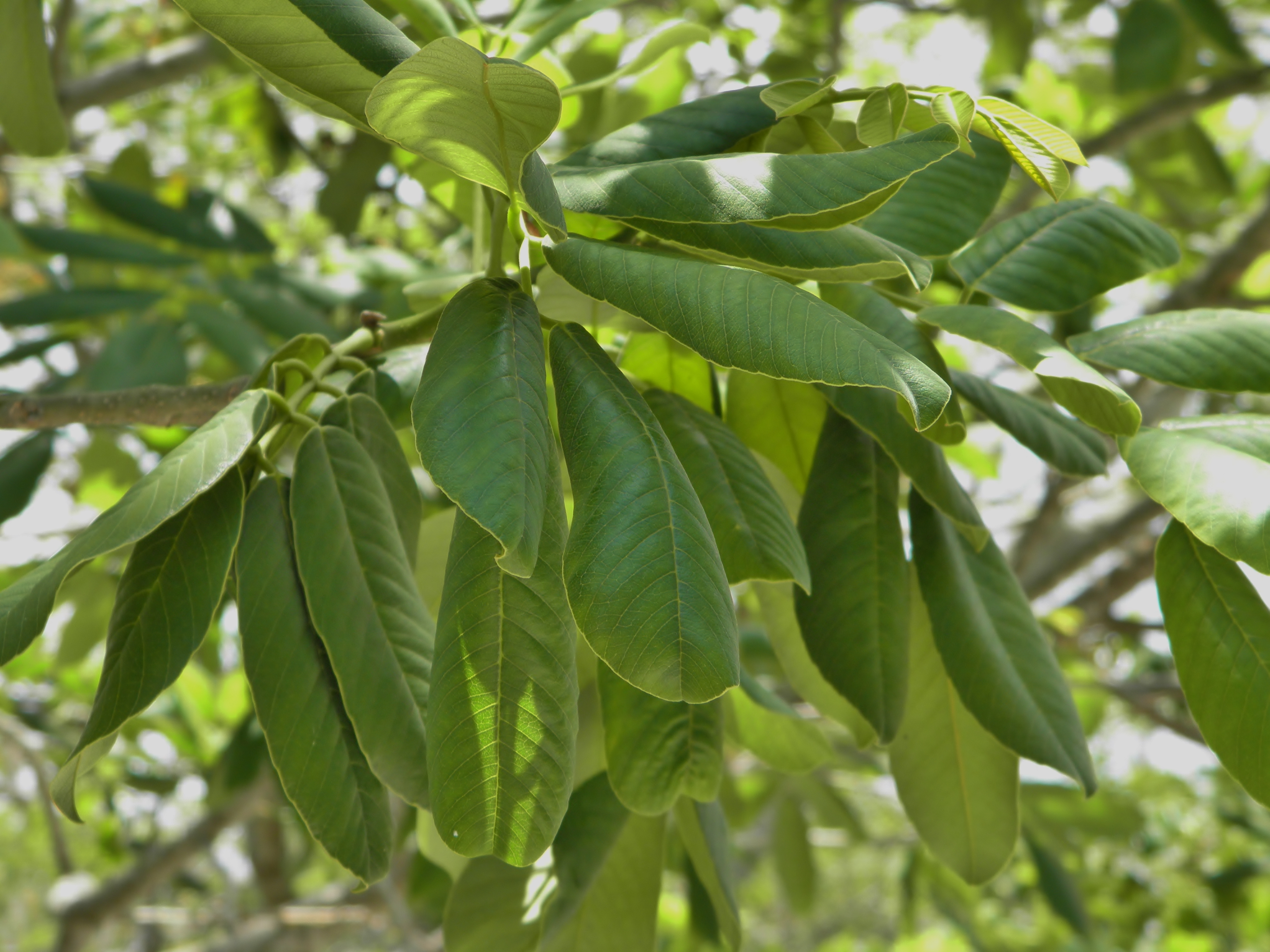 Image of Florida fishpoison tree