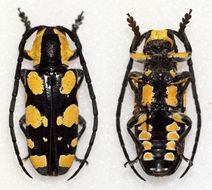 Image of <i>Tragocephala mixta</i>