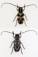 Image of <i>Bangalaia ocellata</i> (Lameere 1893)