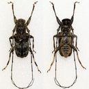 Image of <i>Anancylus mindanaonis</i> Breuning 1968
