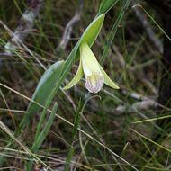 Image of <i>Cleistes rosea</i> Lindl.