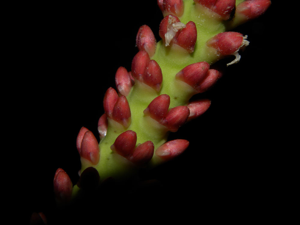 Image of <i>Calyptrogyne ghiesbreghtiana</i> (Linden & H. Wendl.) H. Wendl.