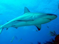 Image of Caribbean Reef Shark