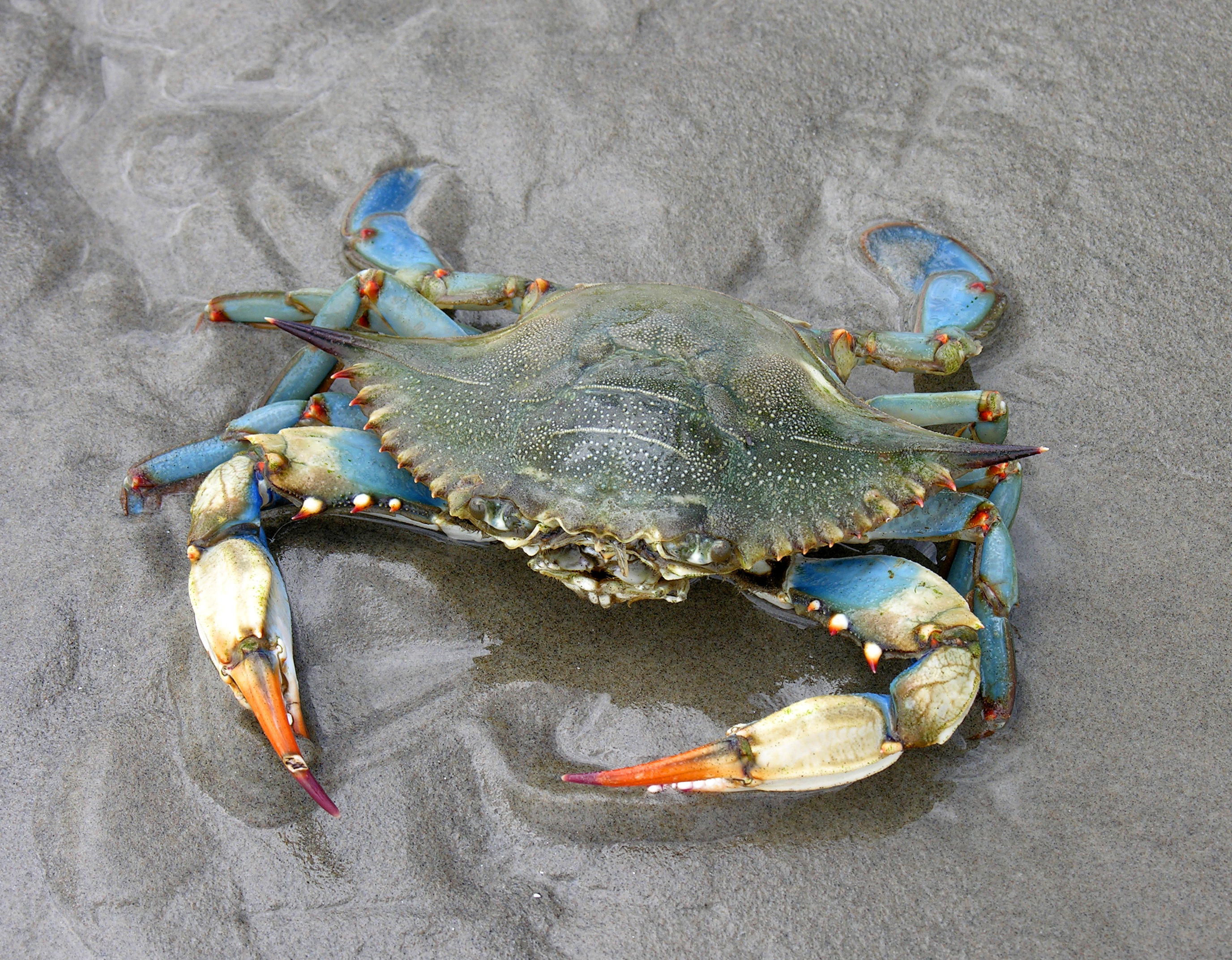 Image of blue crab