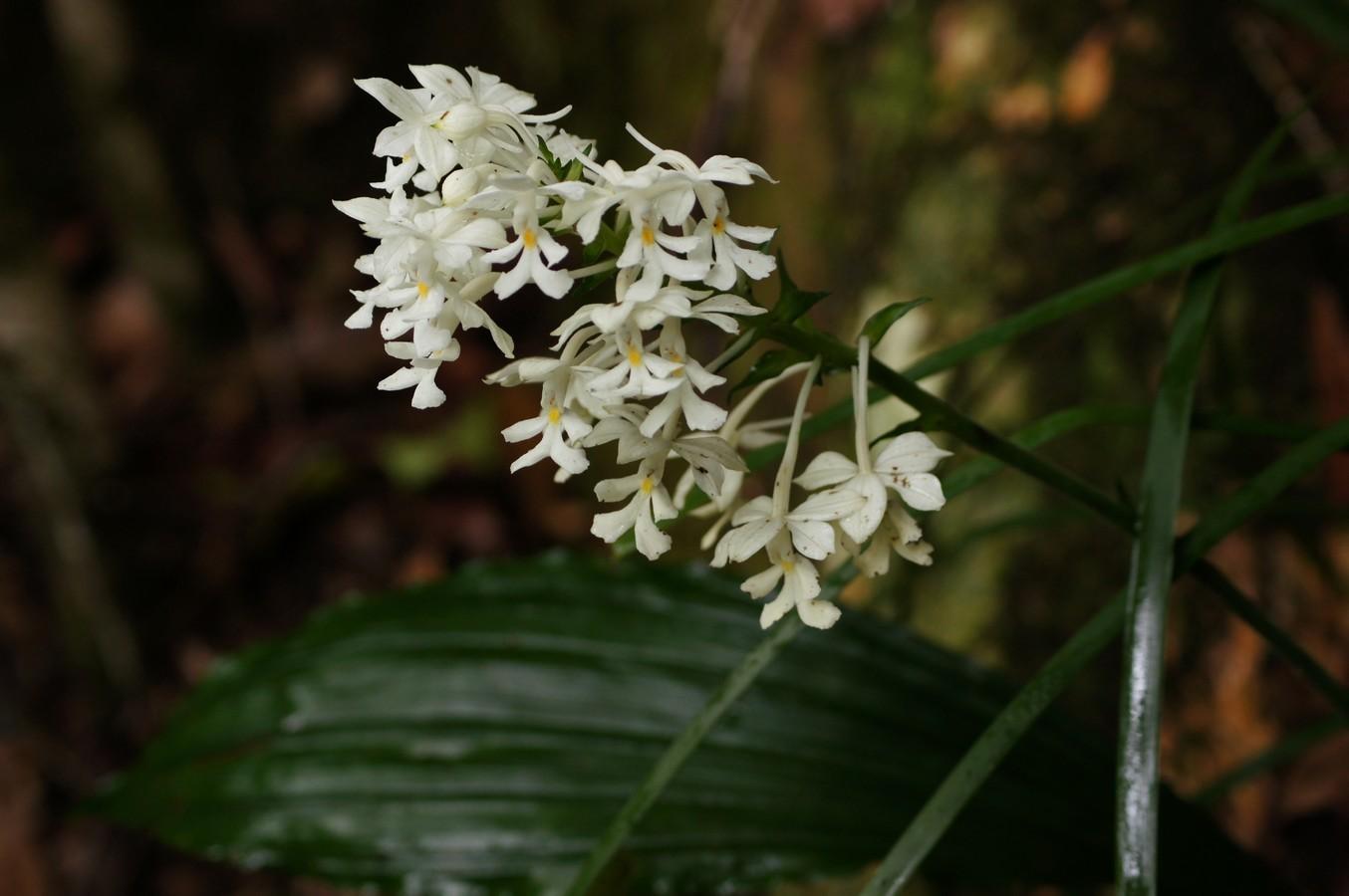 Image of <i>Calanthe australasica</i>