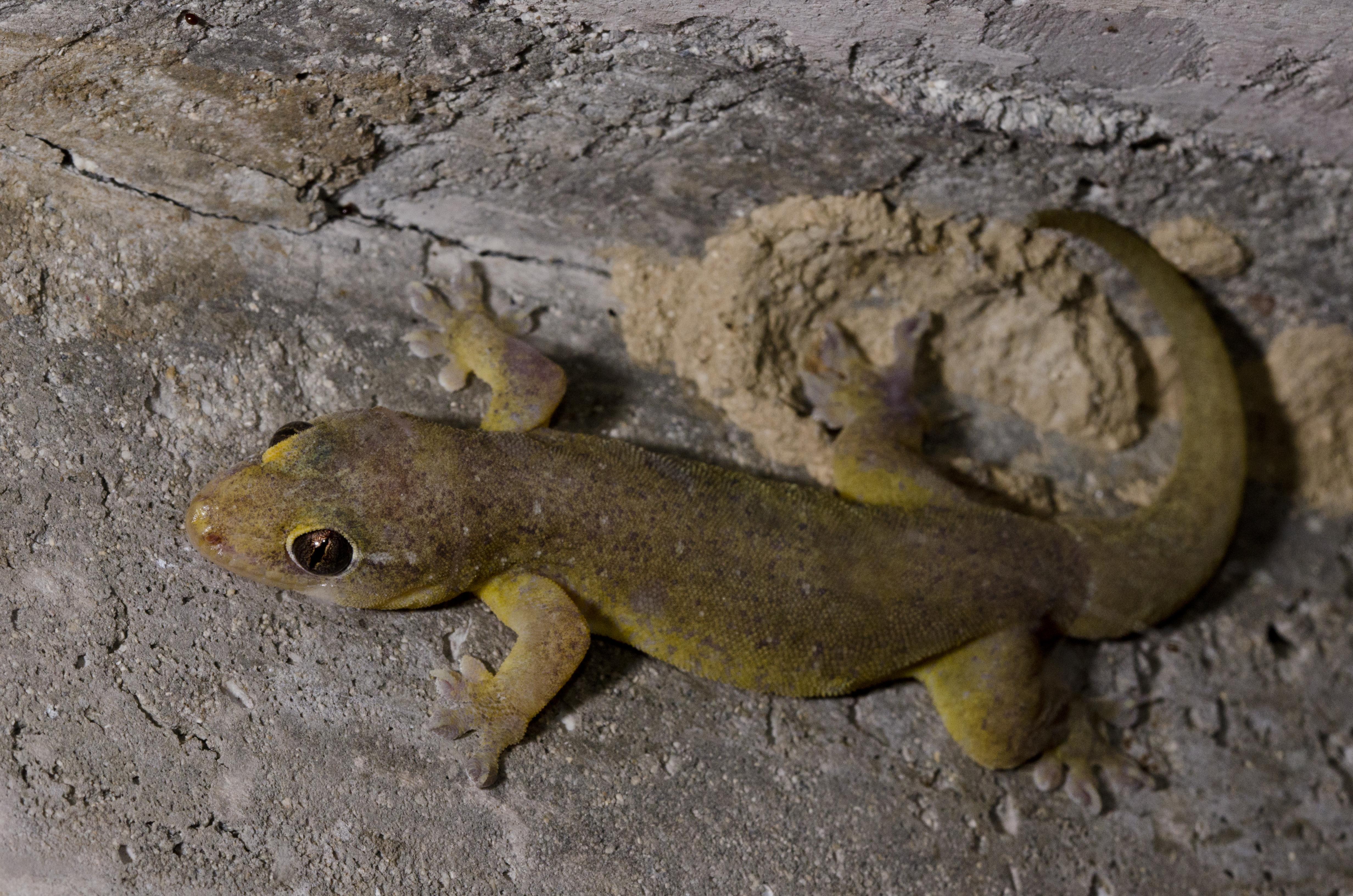 Image of Mutilating Gecko