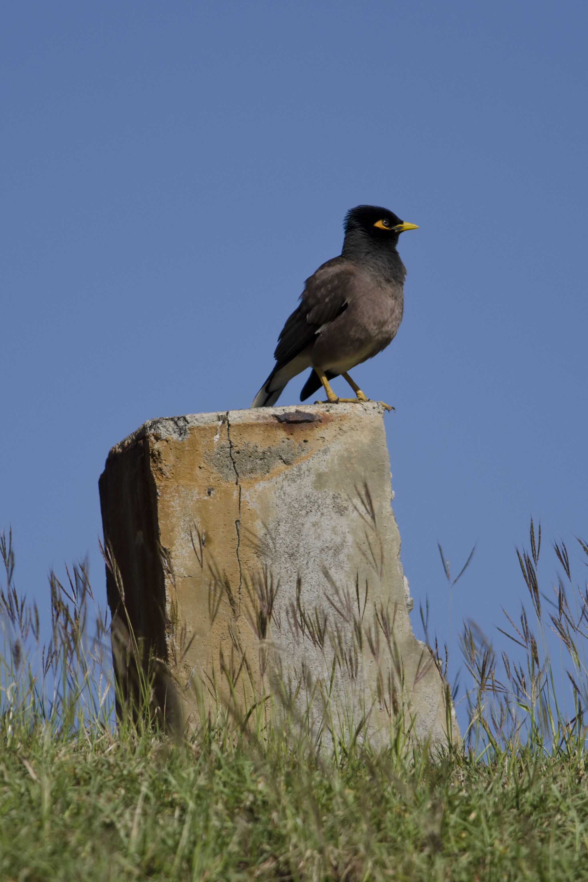 Image of Common myna
