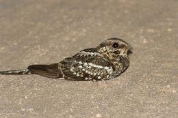 Image of Scissor-tailed Nightjar