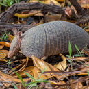 Image of Brazilian Lesser Long-nosed Armadillo