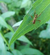 Image of Red-Headed Ash Borer
