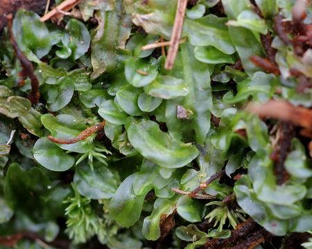 Image of Veilwort