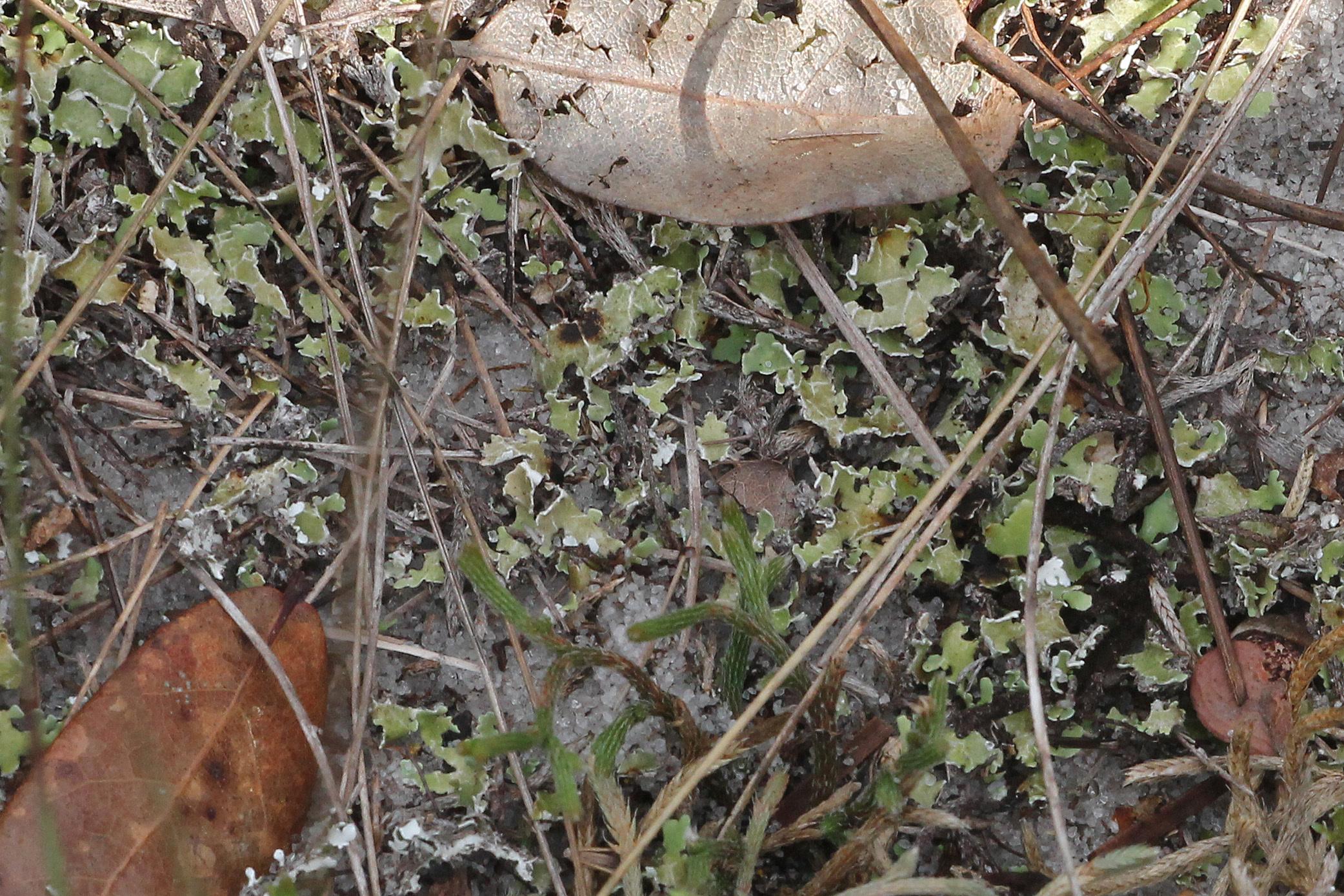 Слика од <i>Cladonia prostrata</i> A. Evans