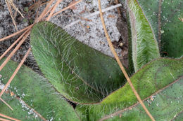 Image of coastal plain hawkweed