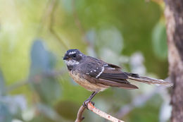 Image of Gray Fantail