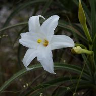 Image of <i>Vellozia tubiflora</i> (A. Rich.) Kunth