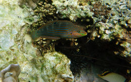 Image of Ornamental wrasse