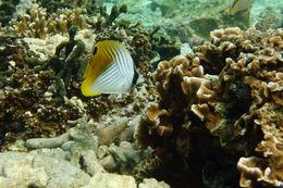 Image of Cross-stripe Butterfly