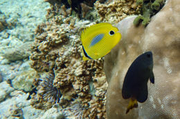Image of Blue-dash Butterflyfish