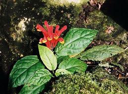 Image of <i>Scutellaria costaricana</i> H. Wendl.