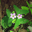 Image of broadleaf woodsorrel