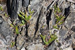 Image of <i>Milligania johnstonii</i> F. Muell. ex Benth.