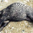 Image of Sumatran Porcupine
