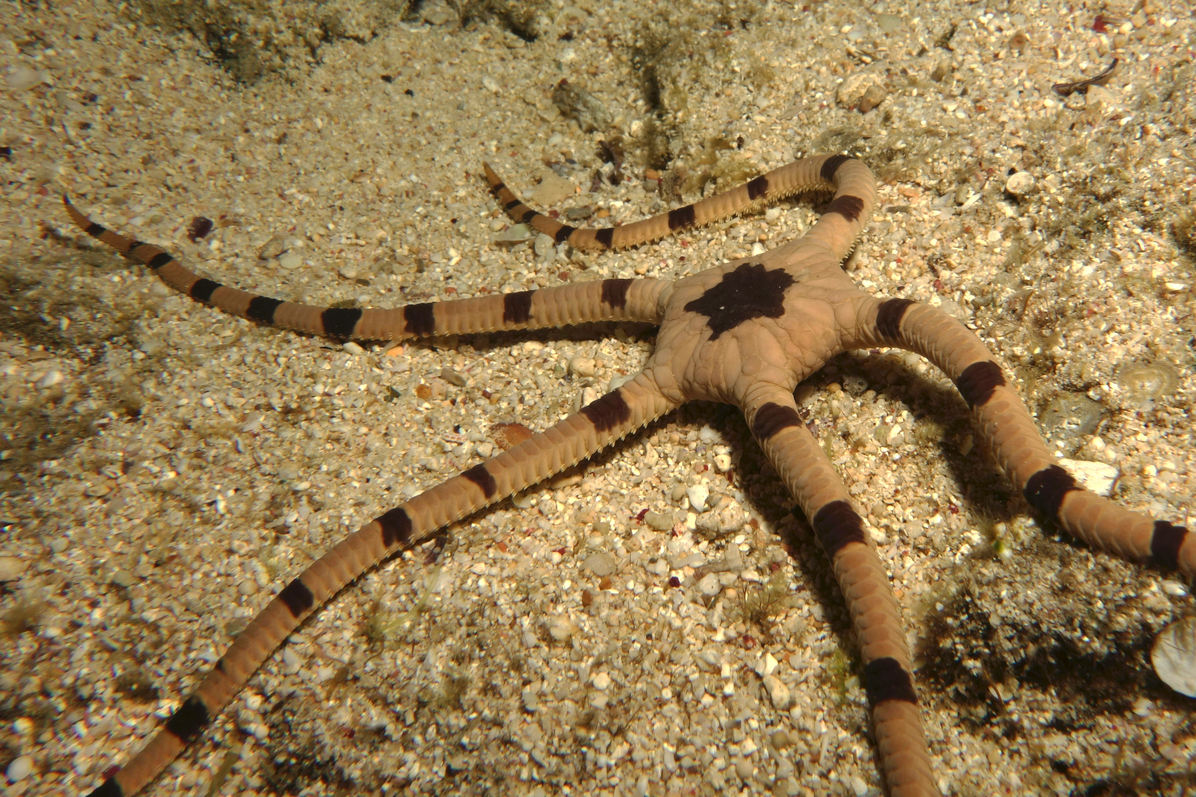 Image of Banded Brittle Star