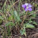 Image of <i>Viola betonicifolia</i> Smith