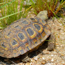 Image of Hinge-back Tortoises
